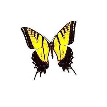 Эскиз черно-желтой бабочки